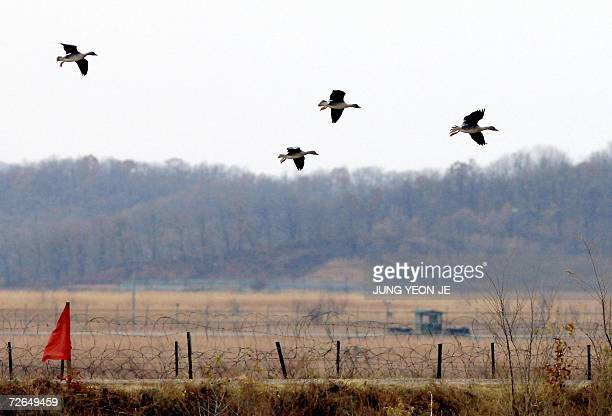 A herd of wild ducks fly over barbed wire fences in Paju 27 November 2006 near the demilitarized zone dividing North and South Korea Experts believe...