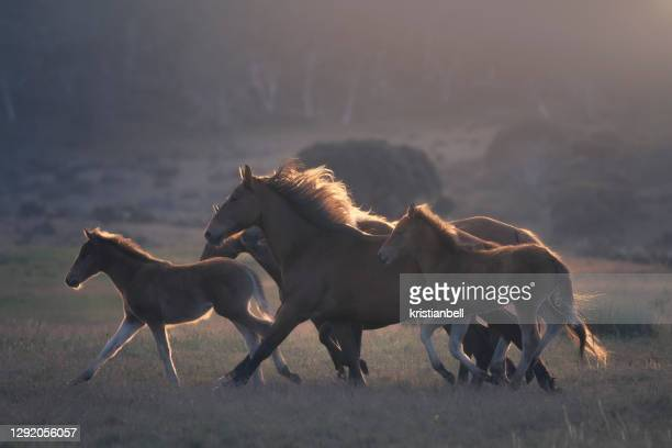 a herd of wild horses running across alpine pasture, australia - animals in the wild stock pictures, royalty-free photos & images