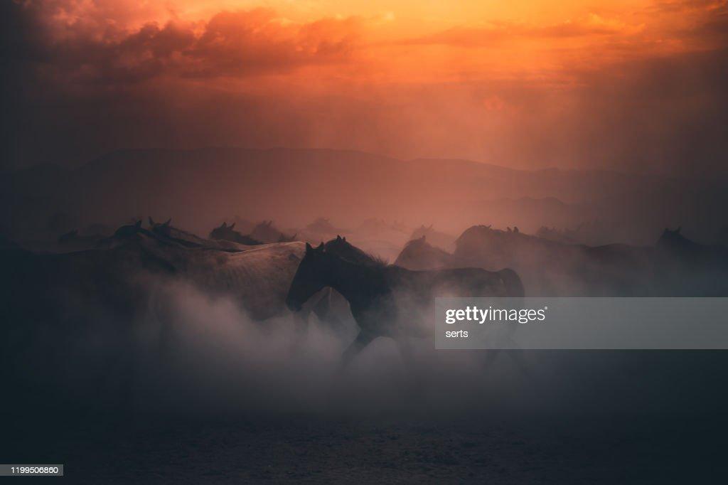 Kudde van wilde paarden die galop in stof op zonsondergang tijd : Stockfoto