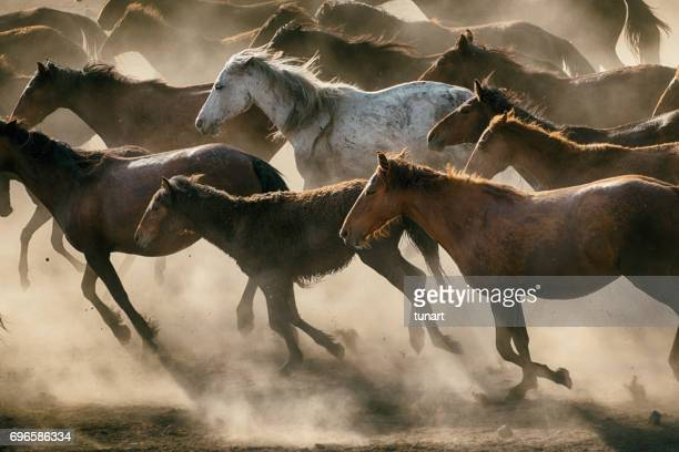 herd of wild horses running in dust - animals in the wild stock pictures, royalty-free photos & images