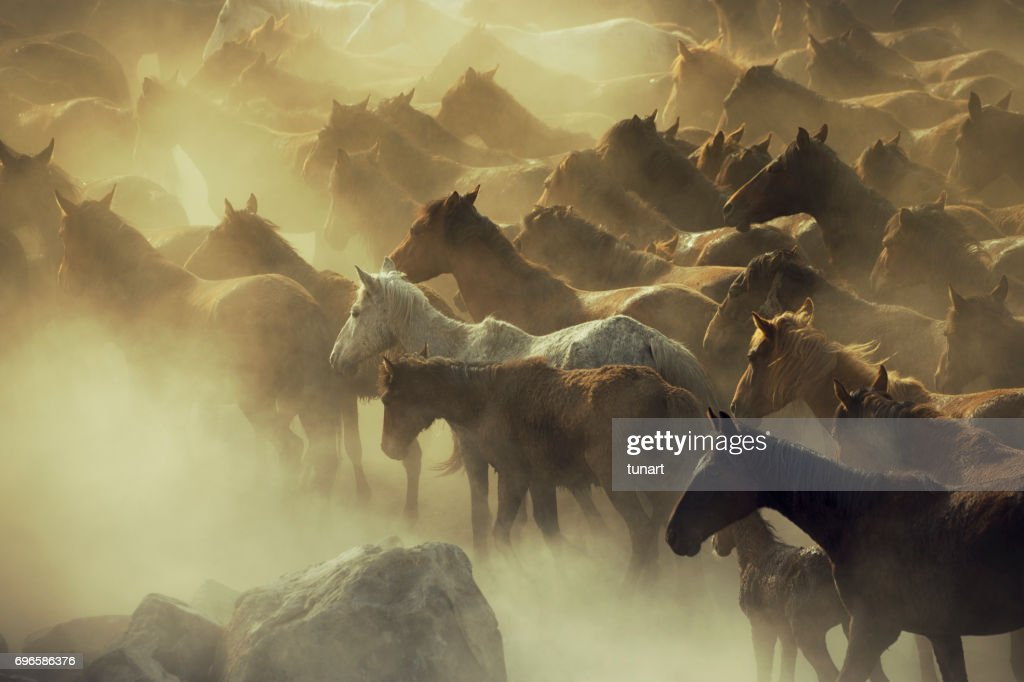 Herd Of Wild Horses Running In Dust High Res Stock Photo Getty Images