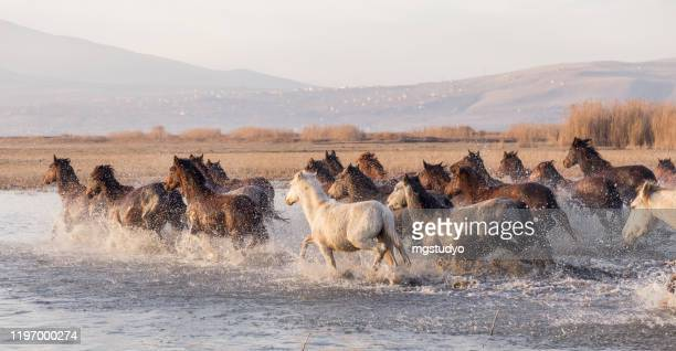 herd of wild horses running in river - ranch stock pictures, royalty-free photos & images
