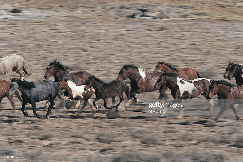 Herd Of Wild Horses Running In The Desert Wyoming Usa High Res Stock Photo Getty Images