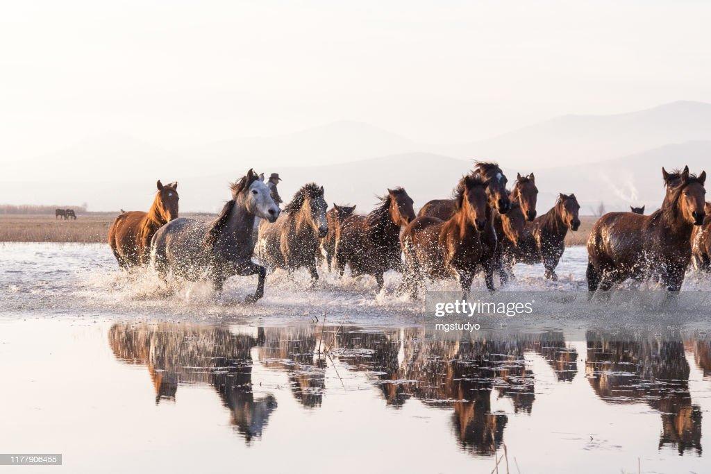 Kudde wilde paarden die in water lopen : Stockfoto