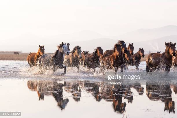 herd of wild horses running in water - animals in the wild stock pictures, royalty-free photos & images