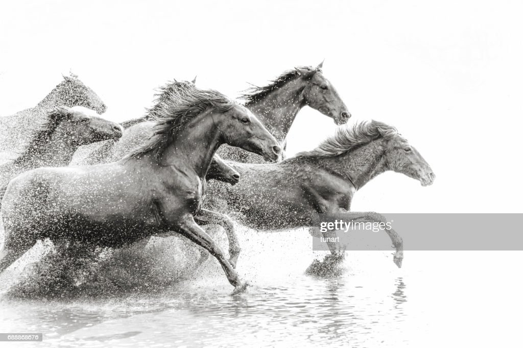 Herd of Wild Horses Running in Water : Stock Photo