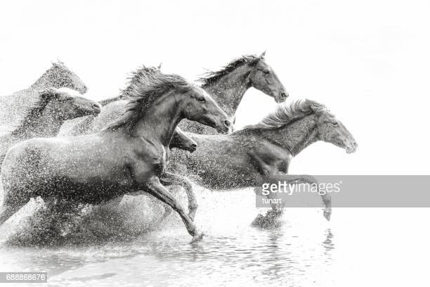 herd of wild horses running in water - endurance stock photos and pictures