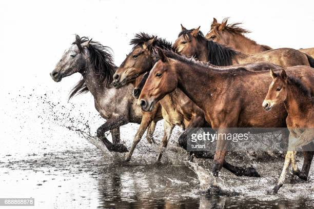 herd of wild horses running in water - colts stock photos and pictures