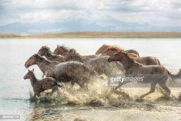 Troupeau de chevaux sauvages en cours d'exécution dans l'eau