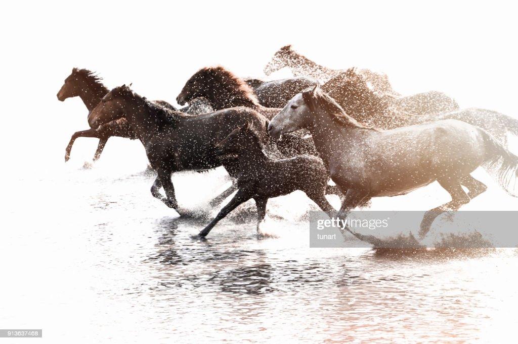 水を実行している野生の馬の群れ : ストックフォト