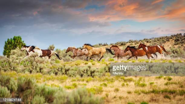 ユタ州を走る野生の馬の群れアメリカ - 自生 ストックフォトと画像
