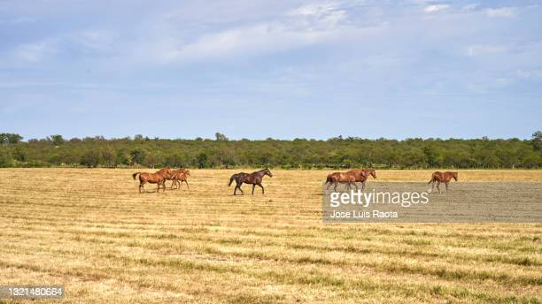 herd of wild horses walking through large sown field - argentina stock pictures, royalty-free photos & images