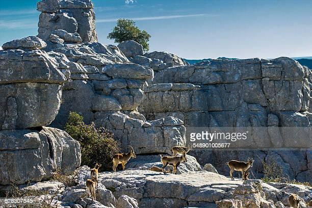 herd of wild ibex - paraje natural torcal de antequera fotografías e imágenes de stock