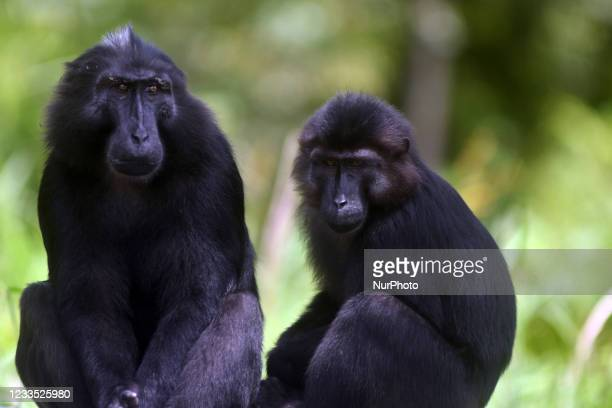 Herd of wild Sulawesi black macaques sits on the side of the road waiting for drivers to give food in the Coffee Garden Mountains Area, Parigi...