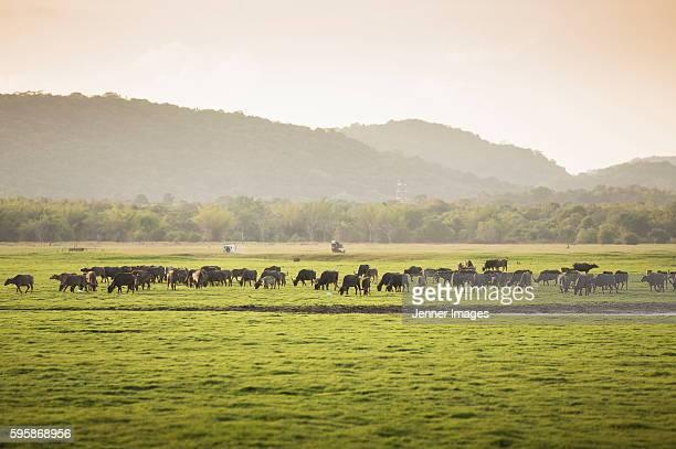 A herd of wild water buffalo in Minneriya National Park, Sri Lanka.