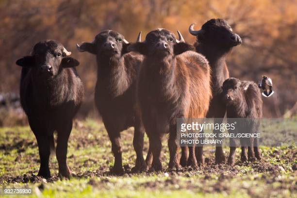 herd of wild water buffaloes - photostock stock pictures, royalty-free photos & images