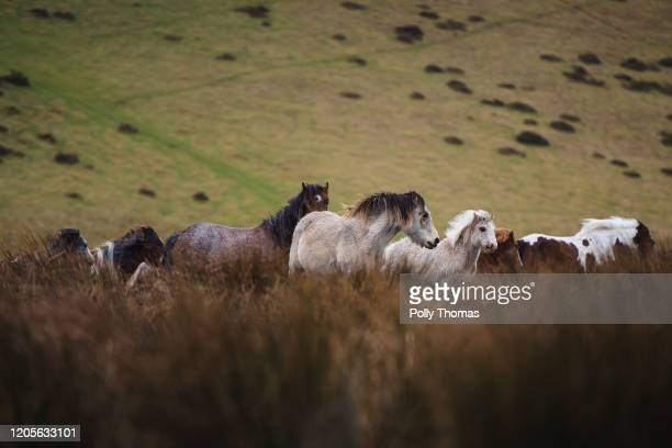 Herd of wild Welsh ponies in the Brecon Beacons National Park on February 01, 2020 in Brecon, United Kingdom.