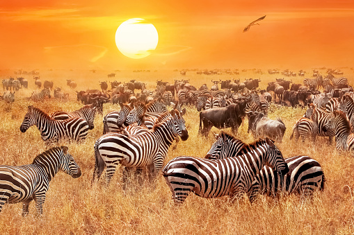 Herd of wild zebras and wildebeest in the African savanna against a beautiful orange sunset. The wild nature of Tanzania. Artistic natural image. 938217928