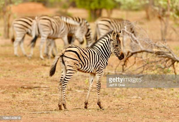 herd of wild zebras in south africa - animated zebra stock pictures, royalty-free photos & images