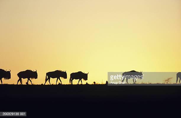 Herd of wildebeest (Connochaetes taurinus) at sunset, Kenya