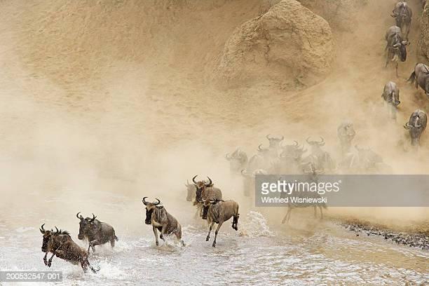 Herd of wildebeest(Connochaetes taurinus) crossing river