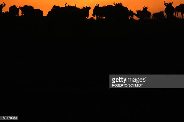 A herd of Wildebeest gather at the top of a hill at sunset after they succesfully crossed the Mara River during the annual migration through the...