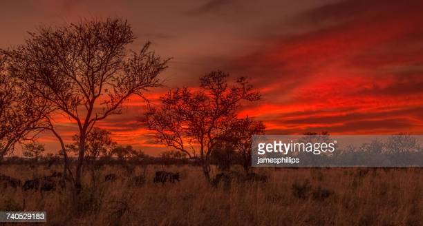 Herd of wildebeest in Madikwe Game Reserve at sunset, South Africa