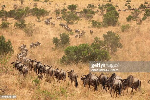 Herd Of Wildebeest Migrating Through Kenyan National Reserve