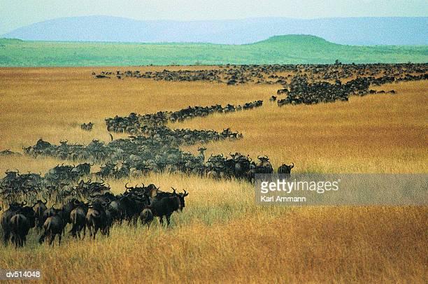 Herd of Wildebeest (Connochaetes taurinus)