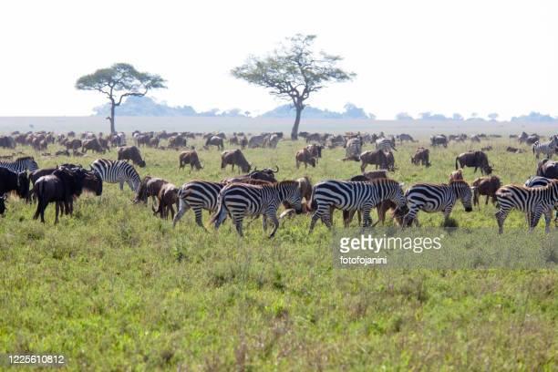 herd of wildebeests and zebras tanzania - fotofojanini foto e immagini stock