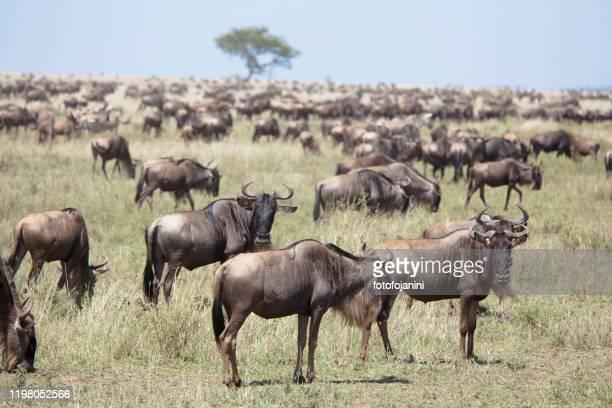herd of wildebeests at great migration - fotofojanini foto e immagini stock