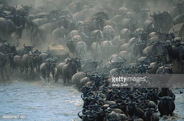 Herd of wildebeests (Connochaetes taurinus) crossing Mara River, Masai Mara, Kenya