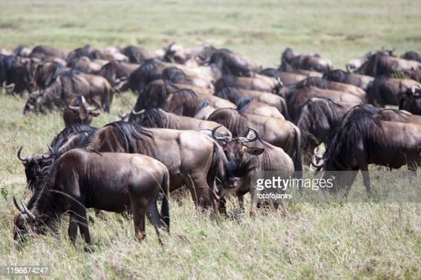 偉大な移住における野生動物の群れ - fotofojanini ストックフォトと画像