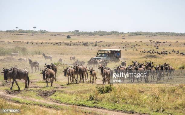 Herd of wildebeests on the savannah in Masai Mara, Kenya. Safari vehicle with tourists in the background