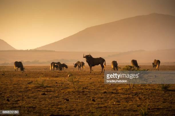Herd of Wilderbeest grazing in the African savannah