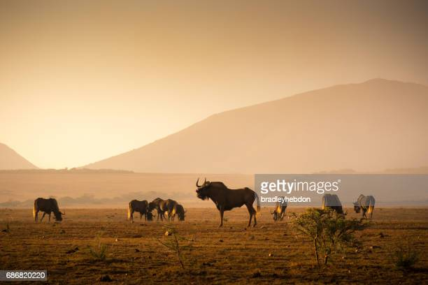 Herd of Wilderbeest grazing in the African savannah