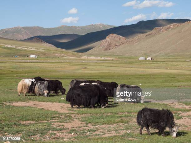 Herd of yaks on pasture in central part of Mongolia