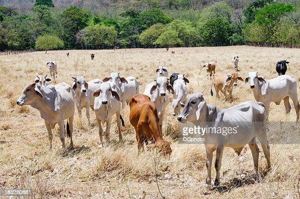 Herd of young brahman cattle in a field