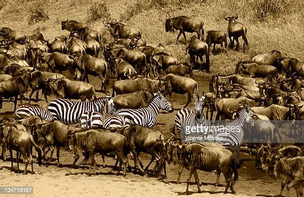 herd of zebra and wildebeest - vicente méndez fotografías e imágenes de stock