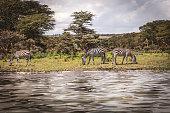 herd zebra masai mara national park