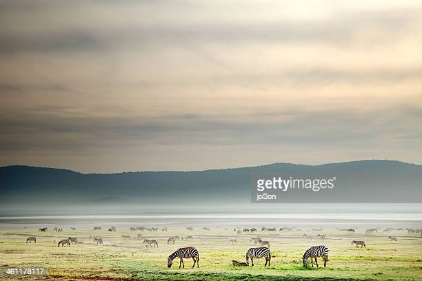 Herd of Zebras grazing on Plain, Morning