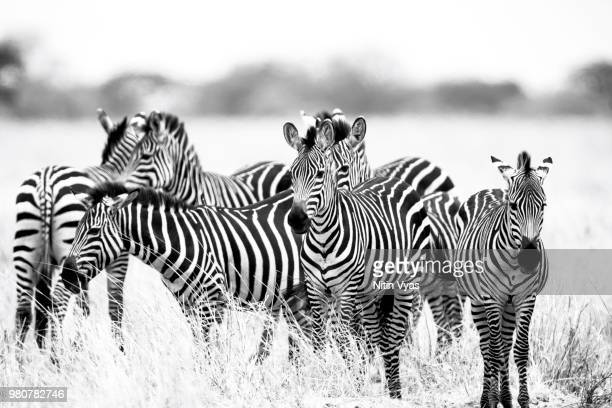 herd of zebras standing on grassland, tarangire national park, tanzania - tarangire national park stock pictures, royalty-free photos & images