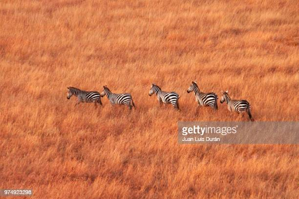 herd of zebras walking acrosssavanna, masai-mara, kenya - east africa stock pictures, royalty-free photos & images