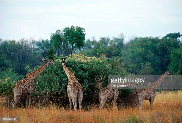 A herd ofGiraffes in Moremi National Park Botswana