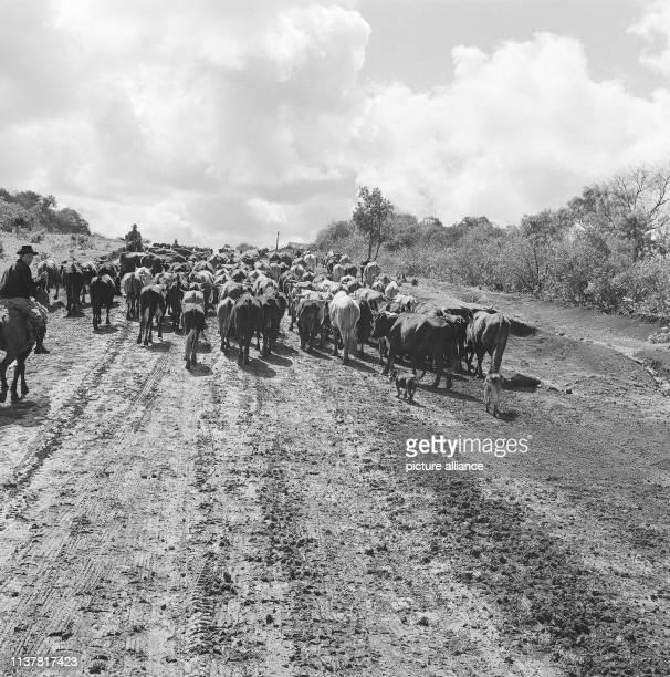 Herd on the road near Posadas Argentina 1957   usage worldwide