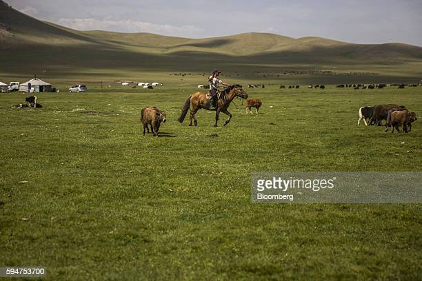 A herder cares for his animals in Ikh Tamir Mongolia on Aug 3 2016 Mongolia a mineralrich and landlocked $12 billion economy bordering Russia and...