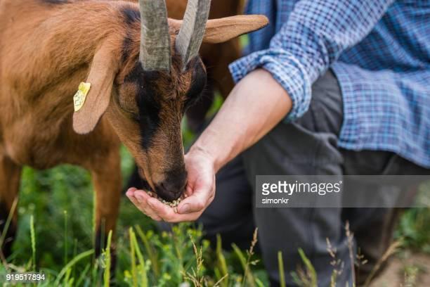 cabra alimentación herder - chivas fotografías e imágenes de stock