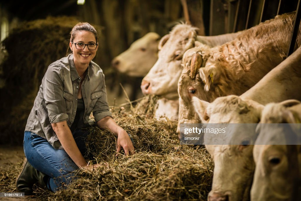 Herder feeding grass to cows : Stock Photo