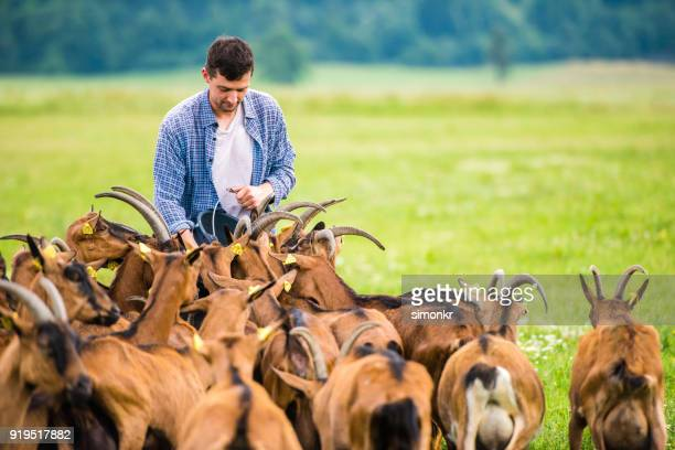 herder feeding group of goats - mid adult men stock pictures, royalty-free photos & images