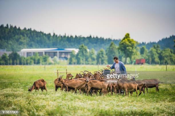 grupo alimentación pastor de cabras - chivas fotografías e imágenes de stock